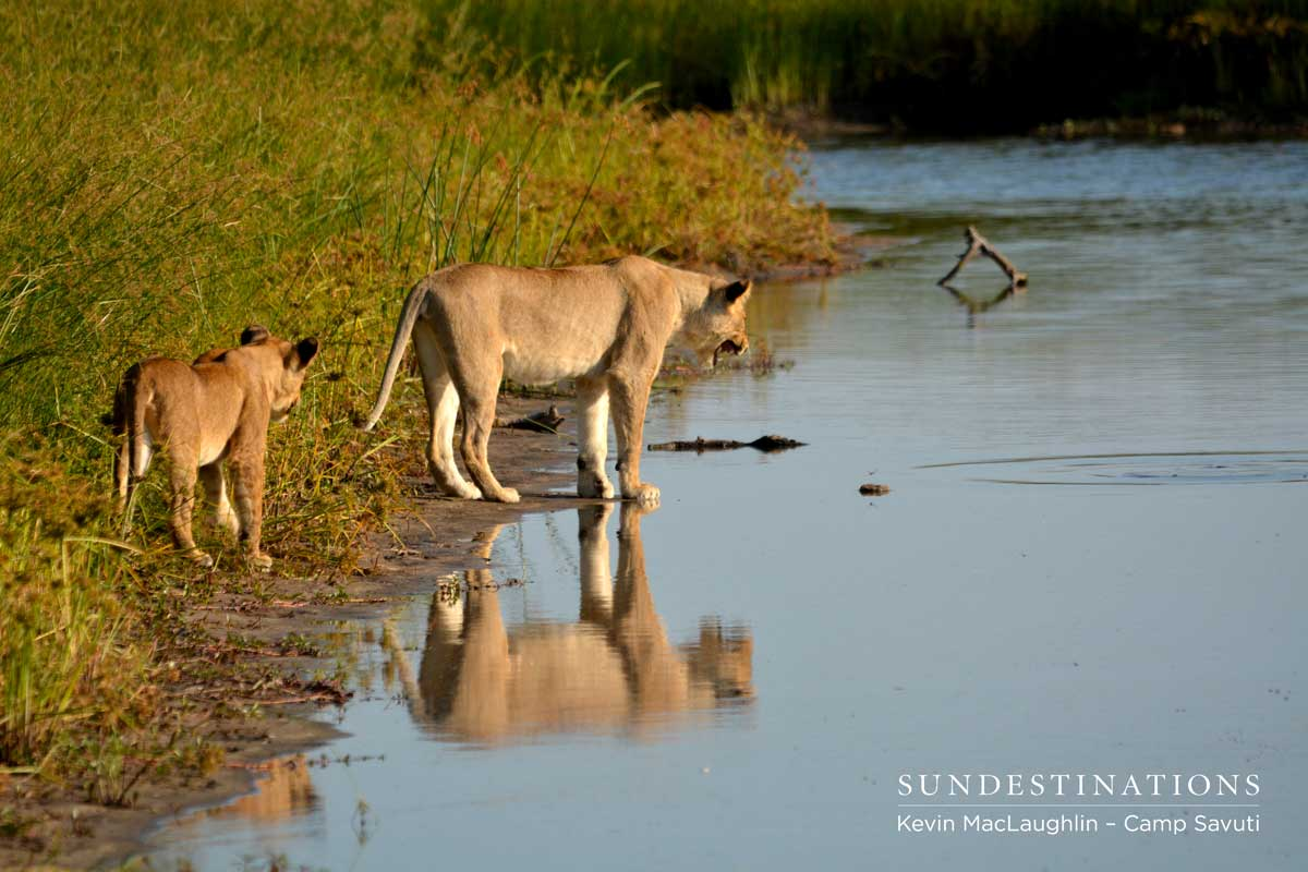 Cubs curious about some movement in the water
