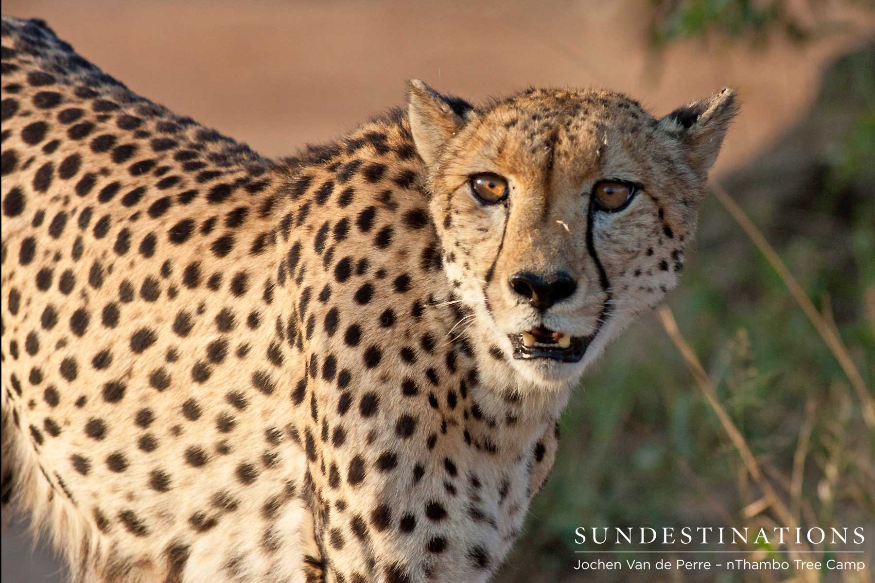 Rare Sighting: Cute and Fluffy Cheetah Cubs