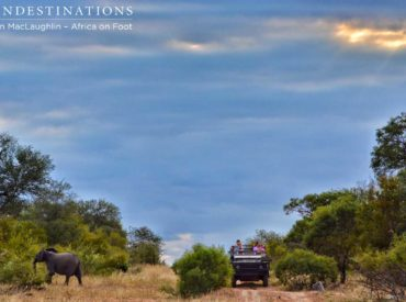 Goings on at the camp are as exciting as ever and it seems that every major predator hascome out to play. During our #livebushfeed edition on Wednesday, we were getting live reports from the rangers at Africa on Foot that the Trilogy Lions – a mean coalition of3males – was stalking and hunting buffalo. The […]