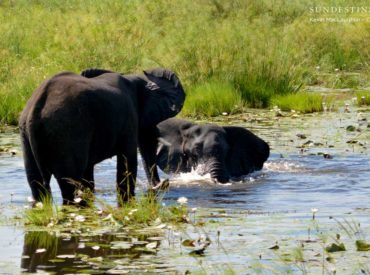 It is known that Chobe National Park is the home of the elephants, a stronghold for the biggest mammals of the land, and a paradise for any elephant-lover lucky to travel there on safari. One of the best kept secrets of this grand, old, national park of Botswana can be found in its northern most […]