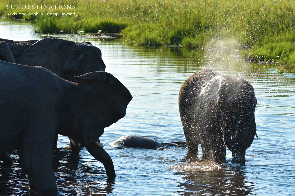 Elephants keeping cool in the swamps of Linyanti