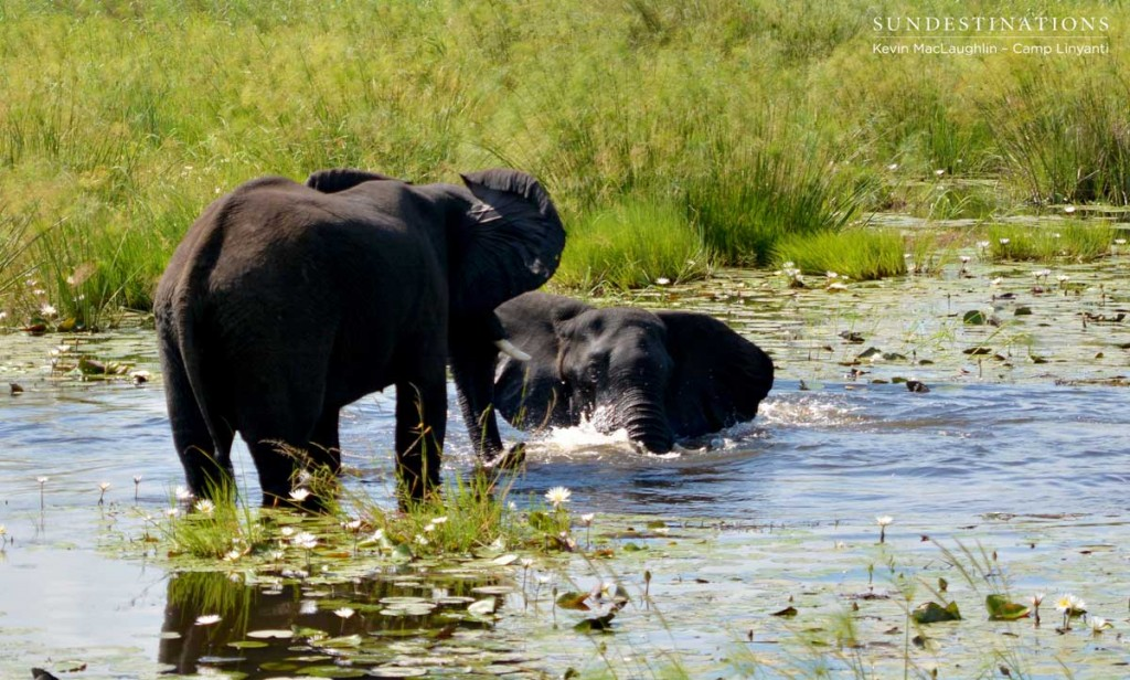 Two bull elephants play fight in the Linyanti swamps