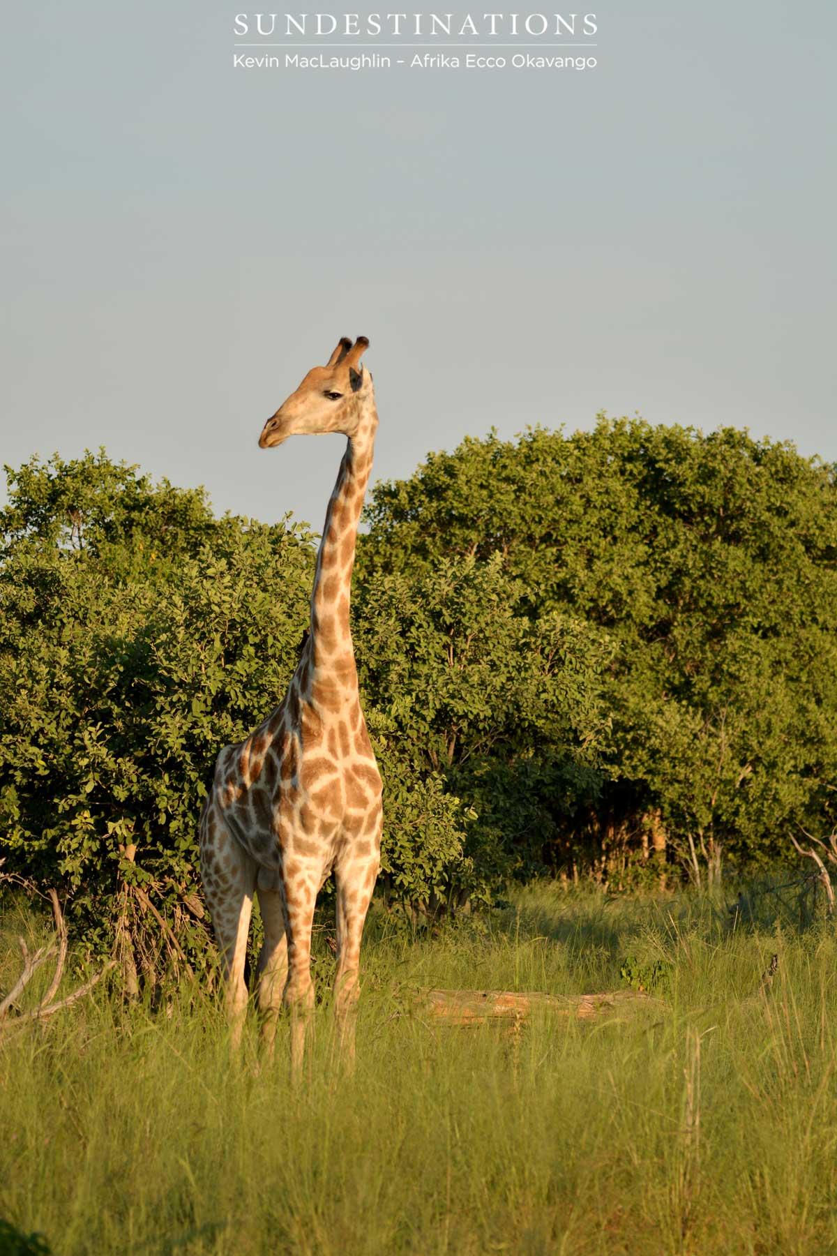 Giraffe In The Sun Light Afrika Ecco Sun Destinations Discover