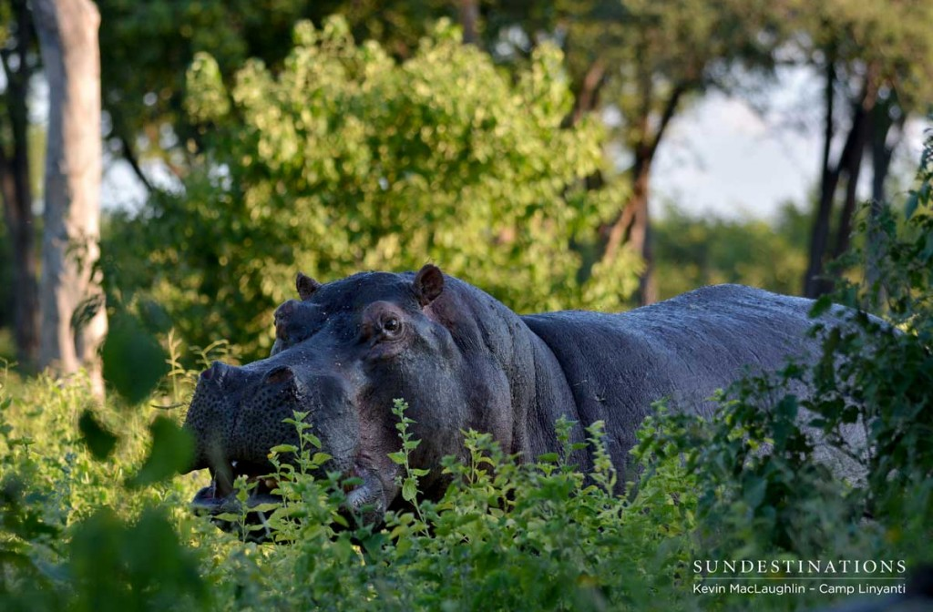 Spotting a hippo out of water in Linyanti