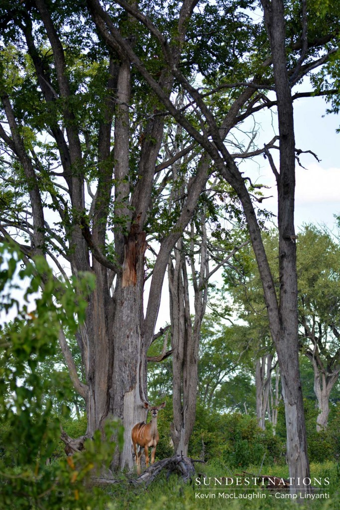 A kudu cow beneath Linyanti's tall trees