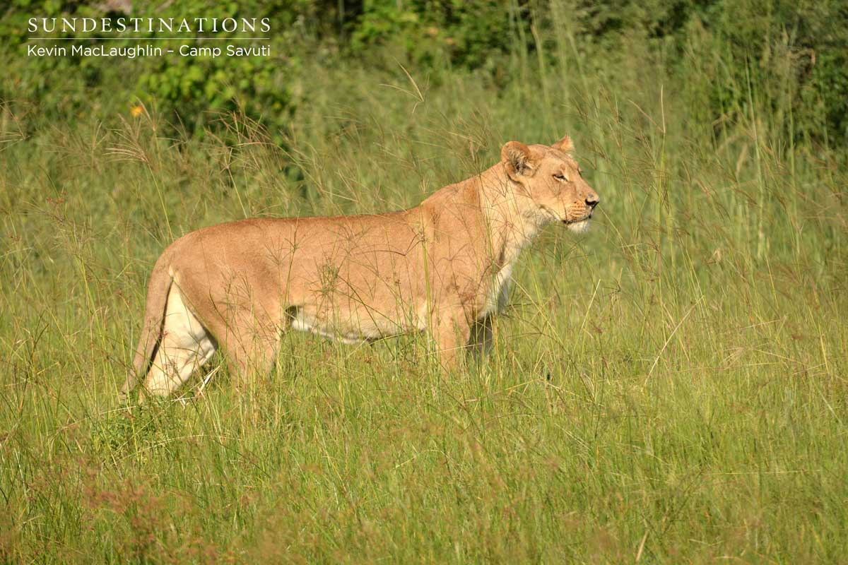 A lioness emerges and watches her cubs moving towards the channel of water