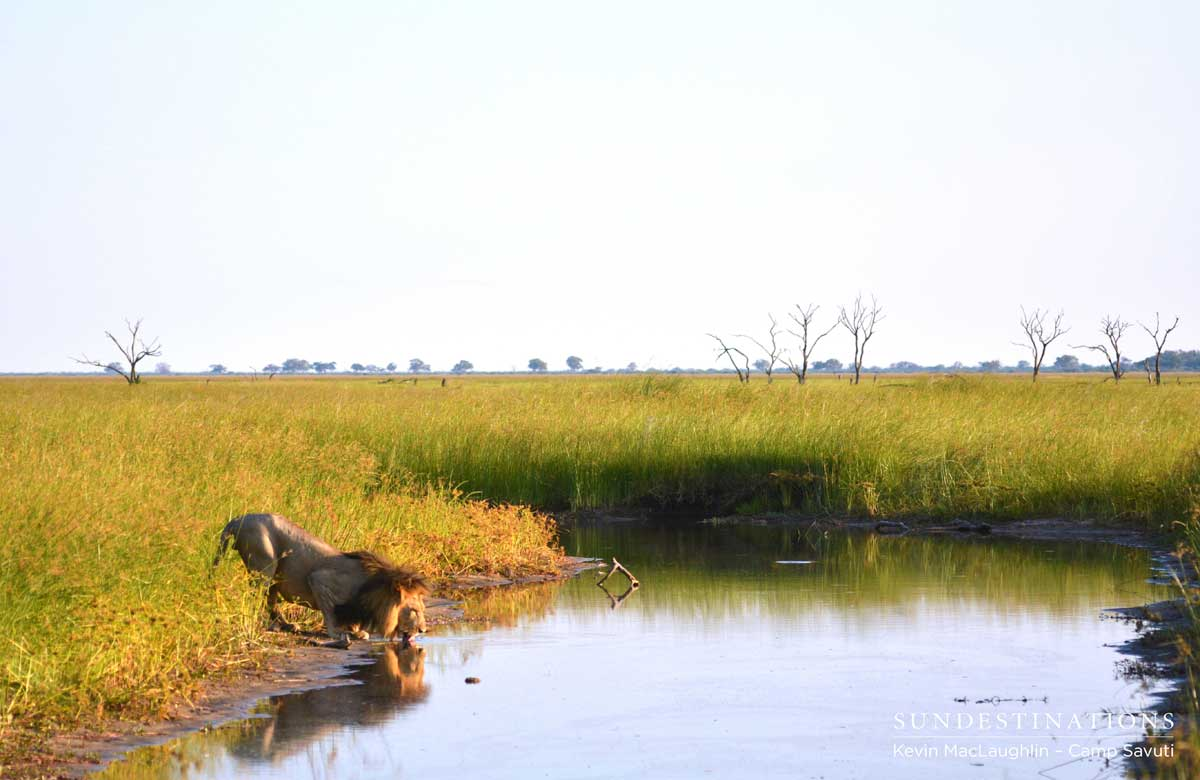 Camp Savuti guests look on as one of the dominant males crouches to take a drink