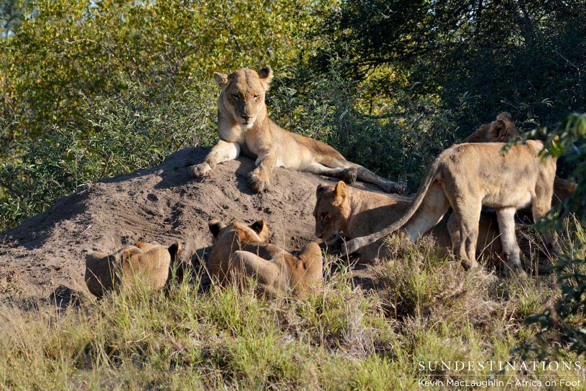 VIDEO: Ross Pride Attempts Warthog Kill