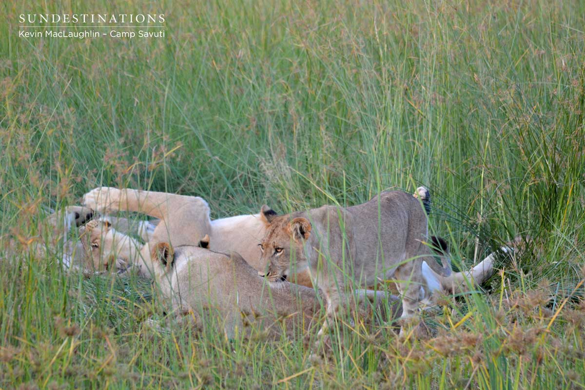 Cubs interact with each other as the heat of the day subsides