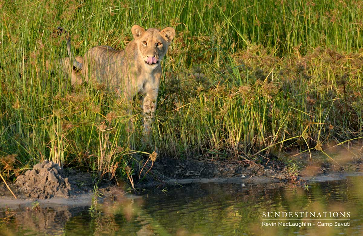 Savuti lion cub at the channel