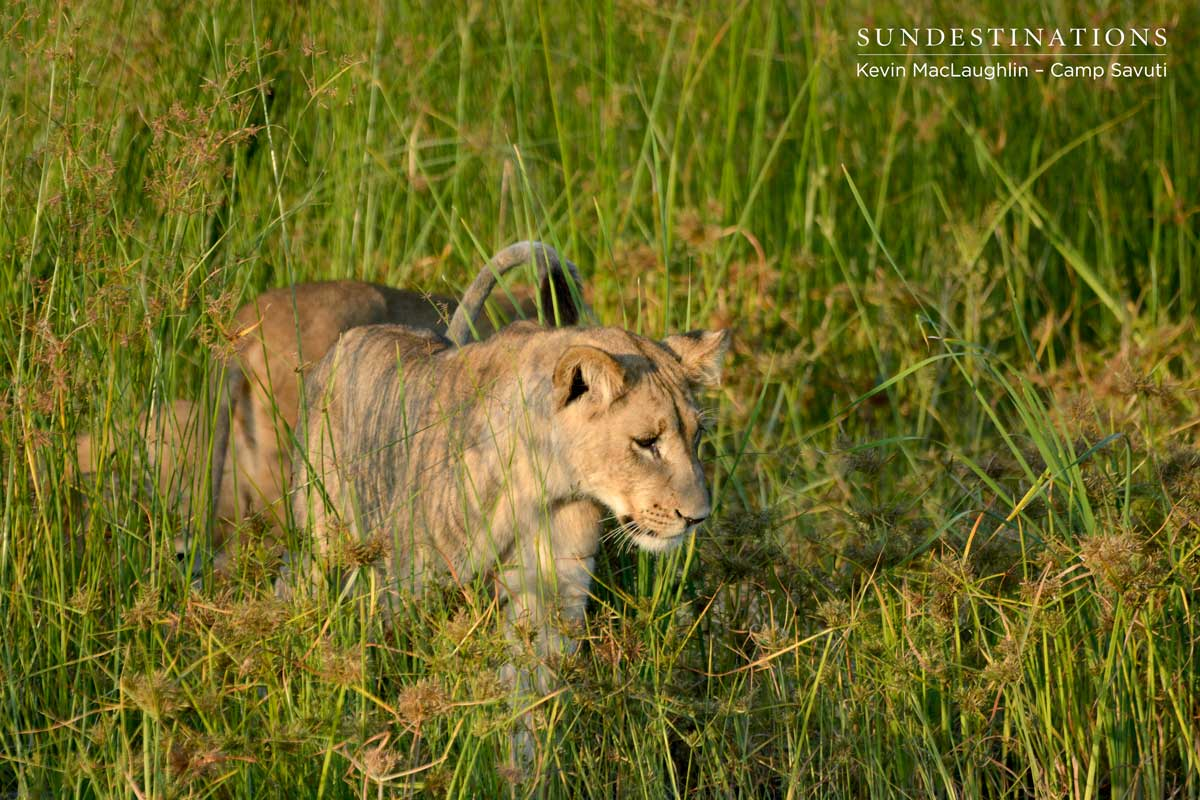 A Savuti cub begins to behave playfully with his siblings