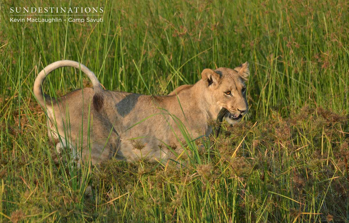 Lion cub entertains itself with a pice of wood