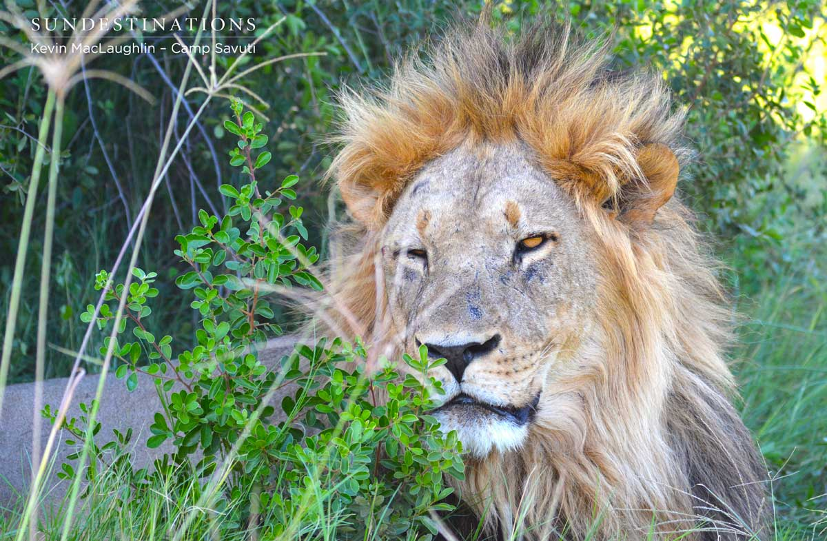 Male lion awakening from an all-day snooze