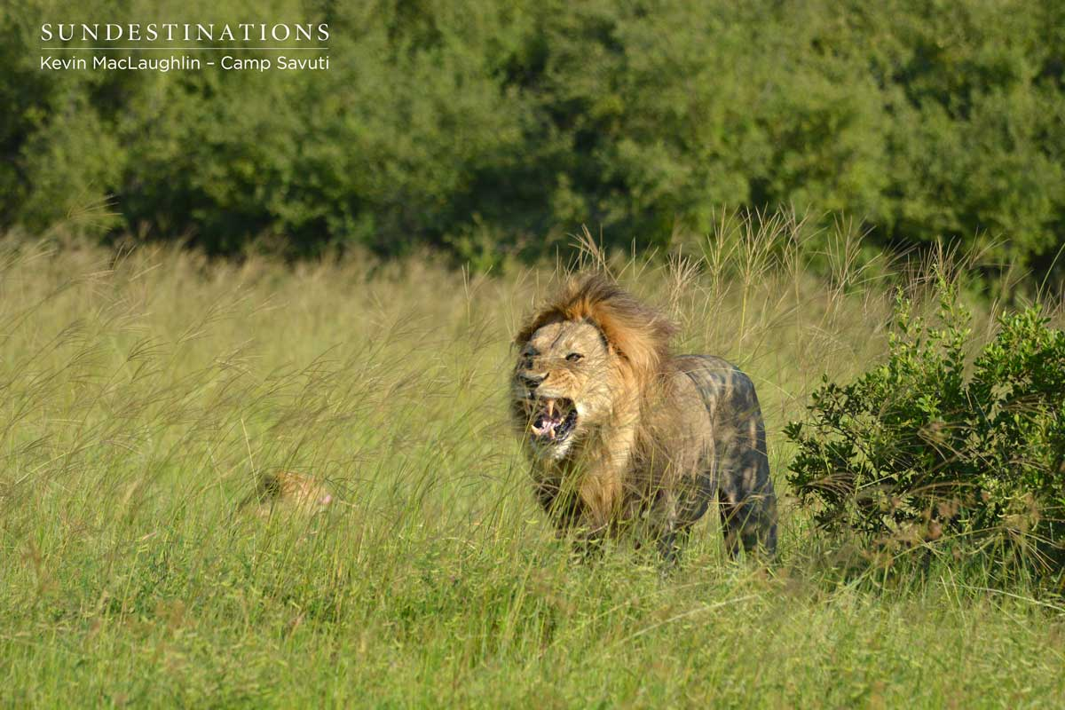 Savuti male lion