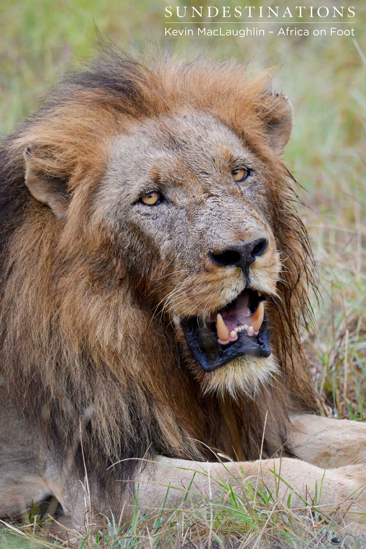 Trilogy Lions Kill a Buffalo