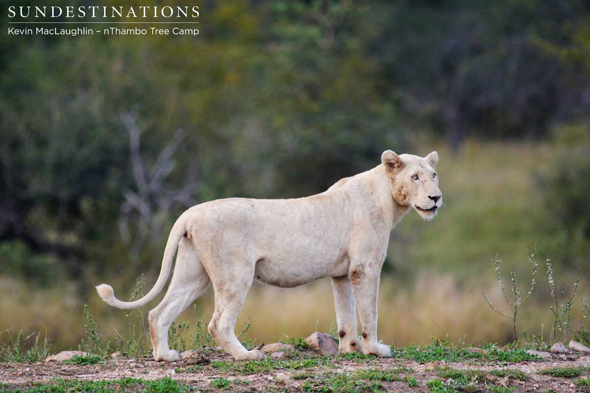 Trilogy Lion Bags Himself 2 White Lionesses!