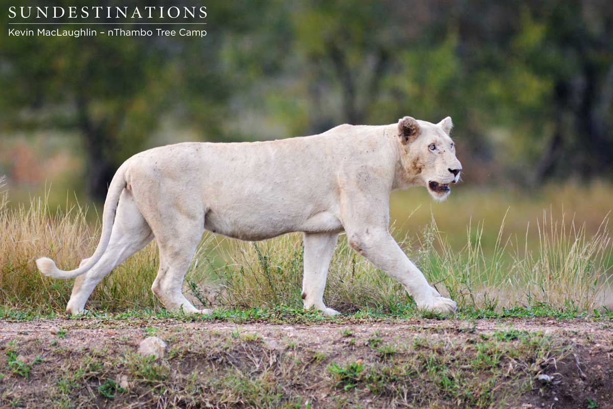 Week in Pics: Big Cat Extravaganza ! White Lions & Leopards