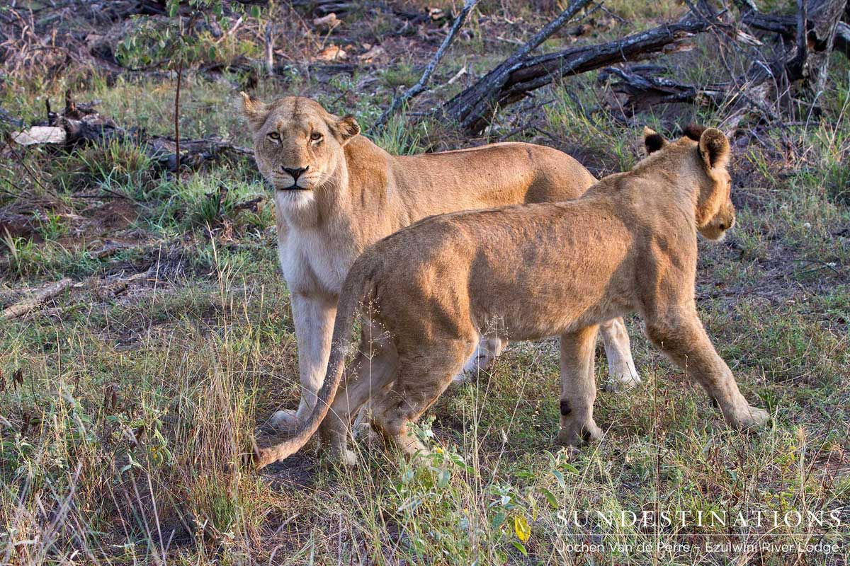 Lion Games in the Olifants West Pride