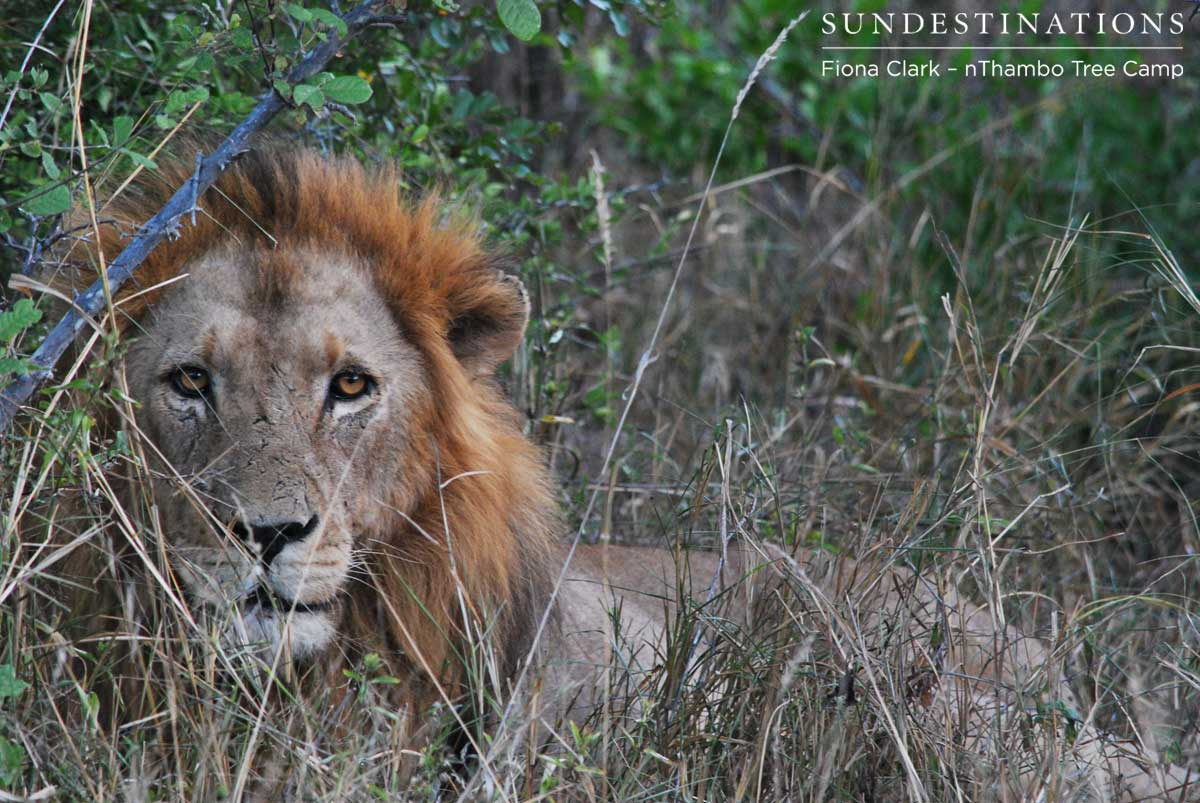 Guest Blog: Rhulani the Leopard & Roaring Lion