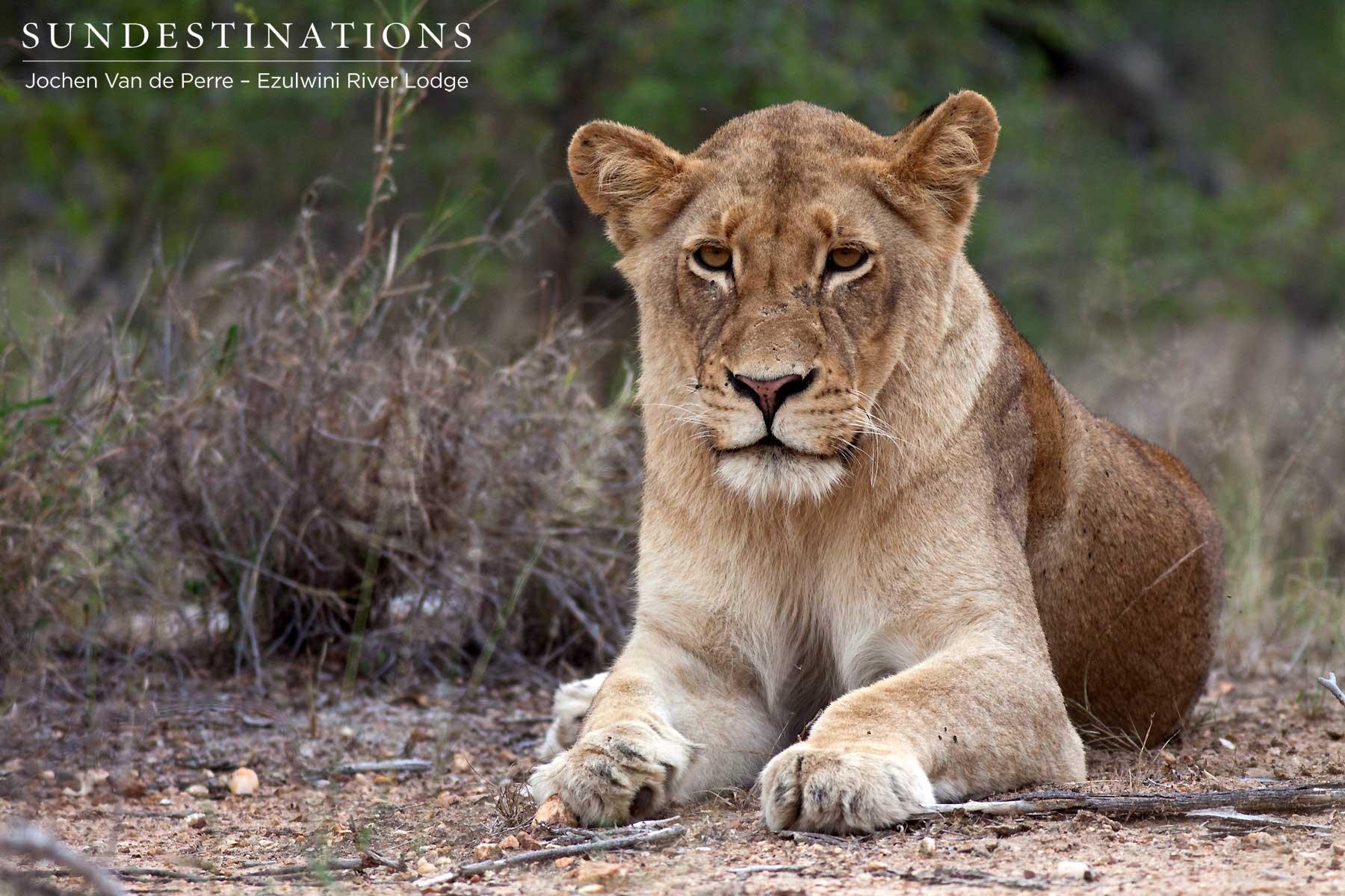 Olifants West Lion Pride Portraits