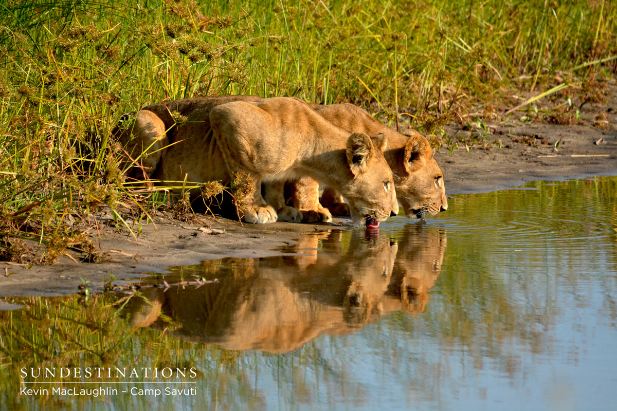 Two females at Camp Savuti drinking from the waterhole