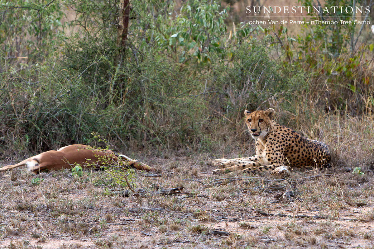 Cheetah Mauls an Impala at nThambo Tree Camp