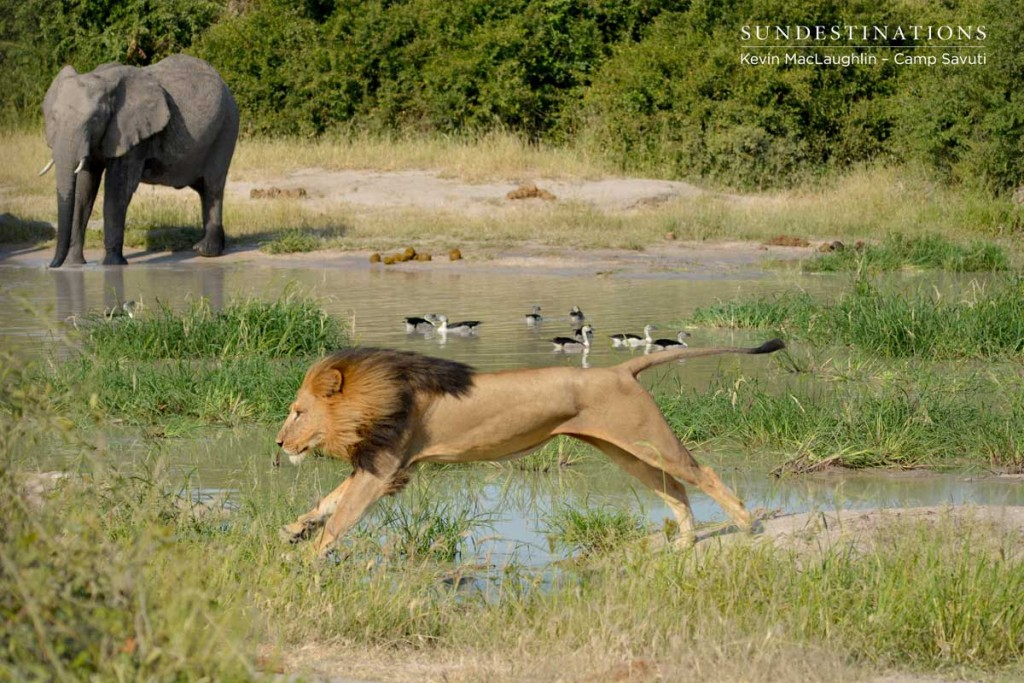 Lion leaping over a stream with an elephant in the background