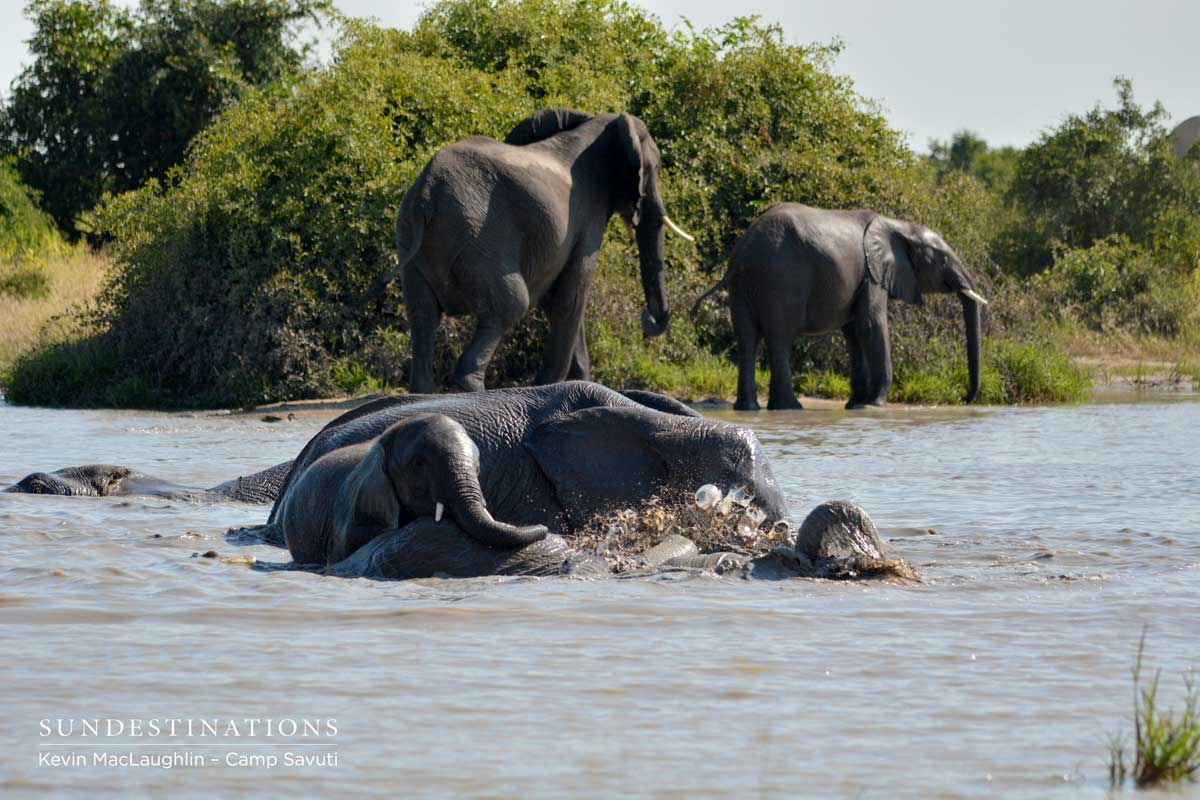 Elephants get stuck into Savuti mud bath