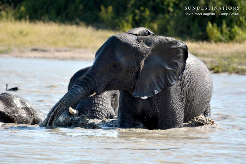 Elephants get carried away in the excitement of a mud bath