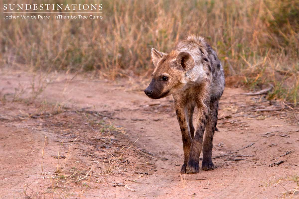 Spotted Hyena: Scavenger or Super Predator?