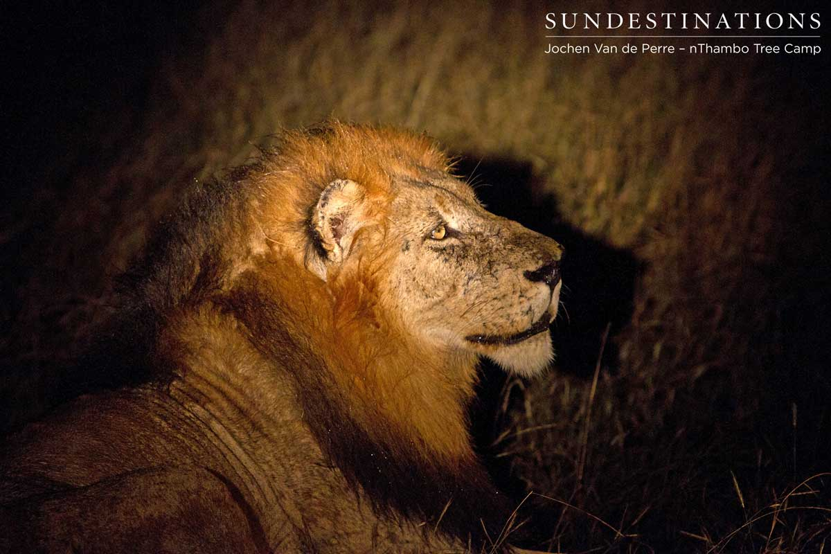 Trilogy male lion roaring into the night