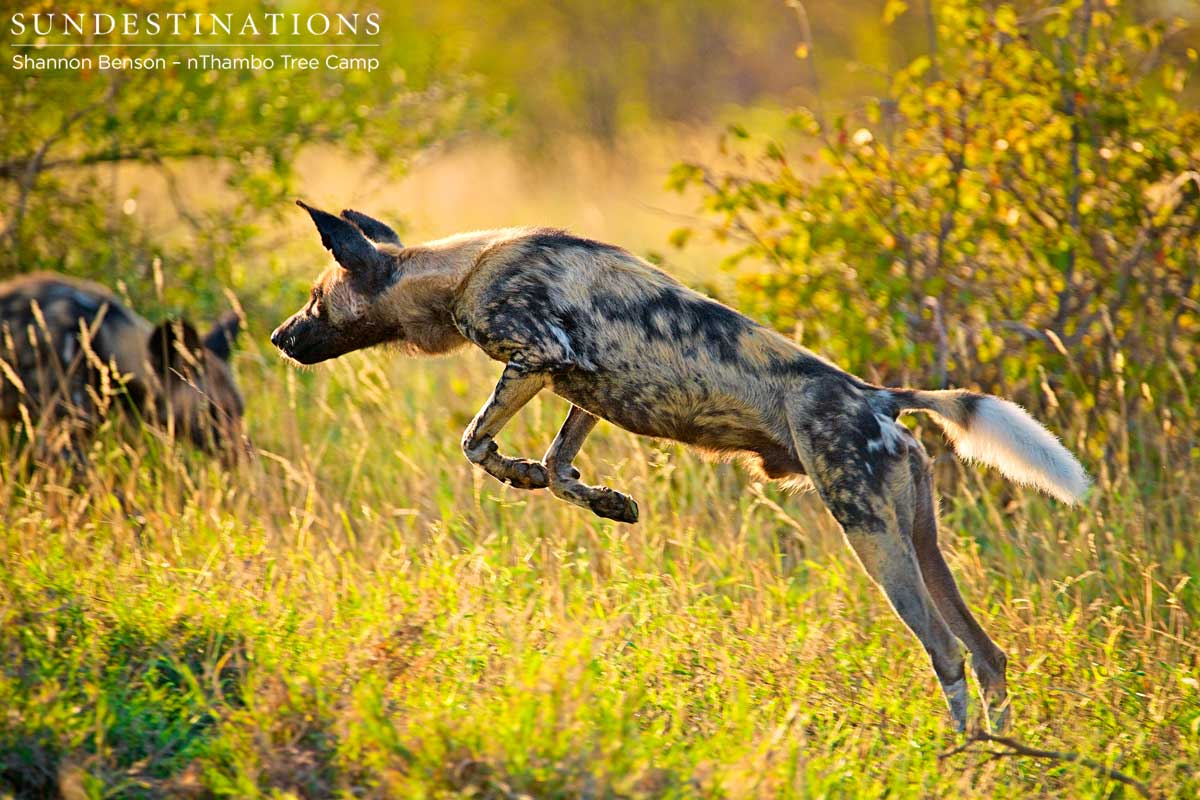 Wild Dogs Chase a Lone Wildebeest for Fun