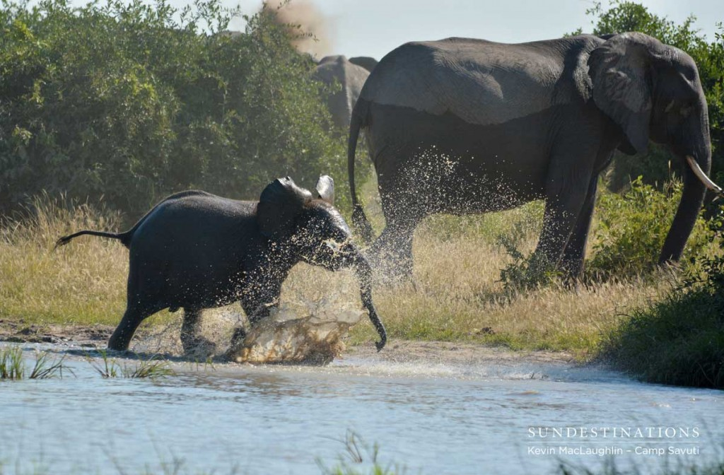 Young elephant charges out of the water