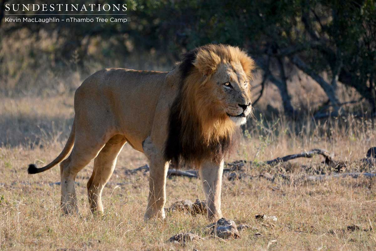 Trilogy Lion Steals Kill from Lionesses