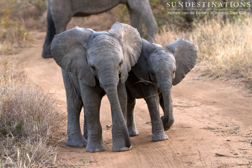 Baby elephants in a breeding herd at nThambo