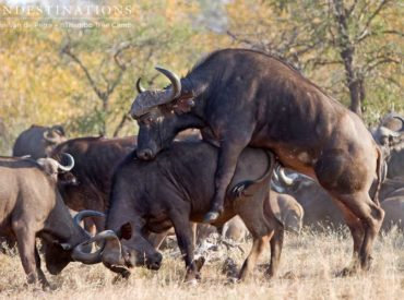 Initially, it looked like we had stumbled upon a buffalo bull and his missus in the throes of passion, but as we got a closer look it turned out that there wasn't a missus in sight! One big bull wasmounting a less mature bullwhile the rest of the herd went about their buffalo business, grazing […]