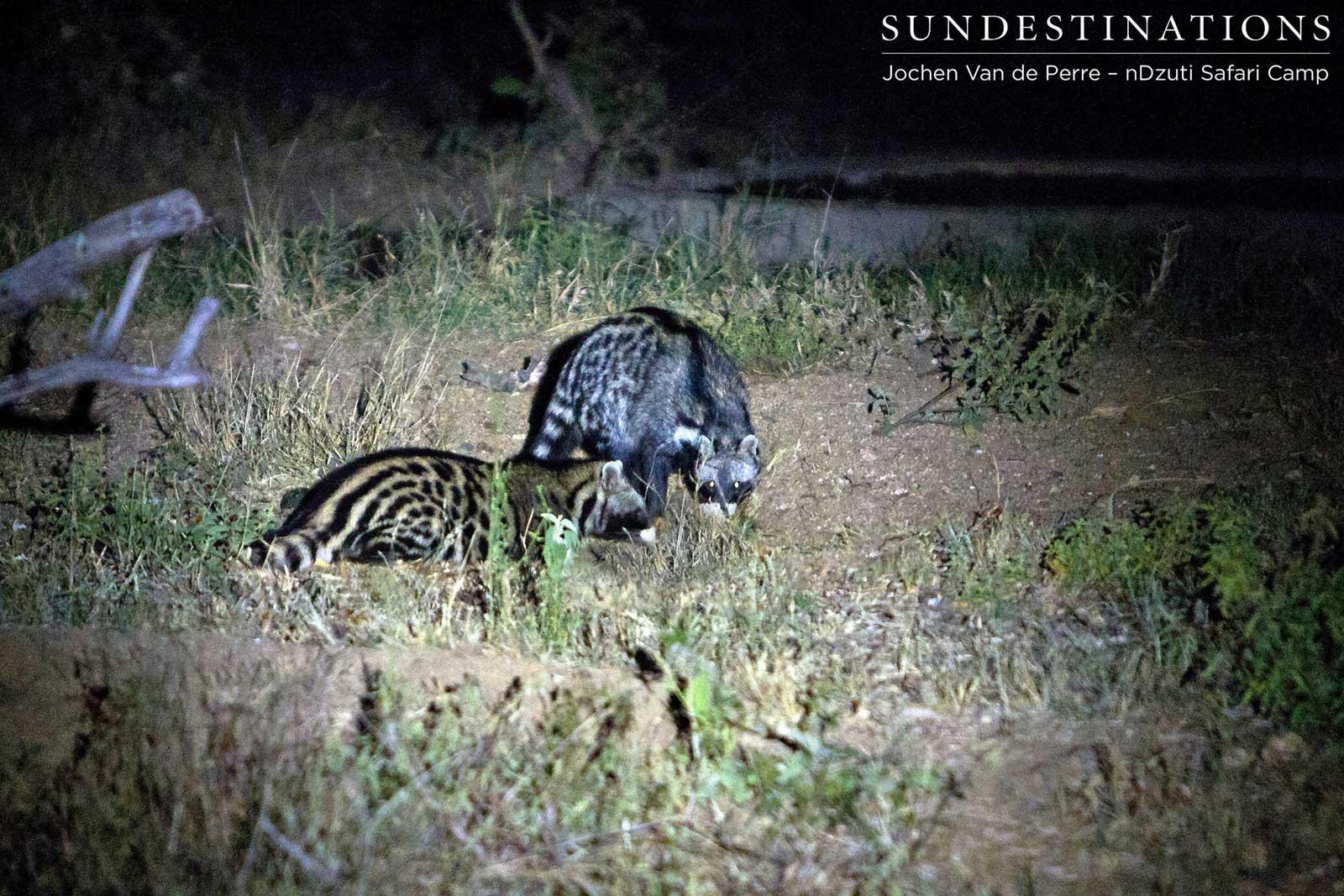 Nocturnal Animal Gathering at nDzuti Safari Camp
