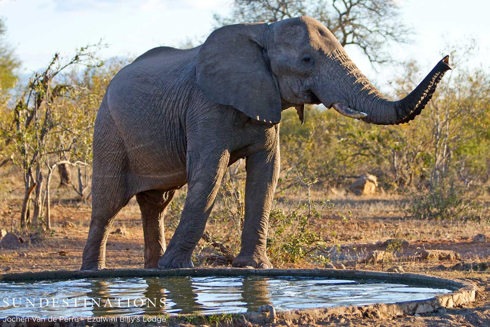 Male ♂ African Bush elephant (Loxodonta africana) Shoshangane (wild) at Balule Nature Reserve