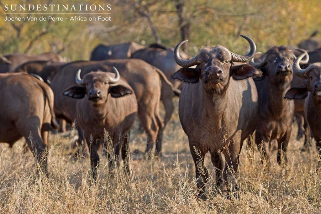 Buffalo herd looking inquisitive