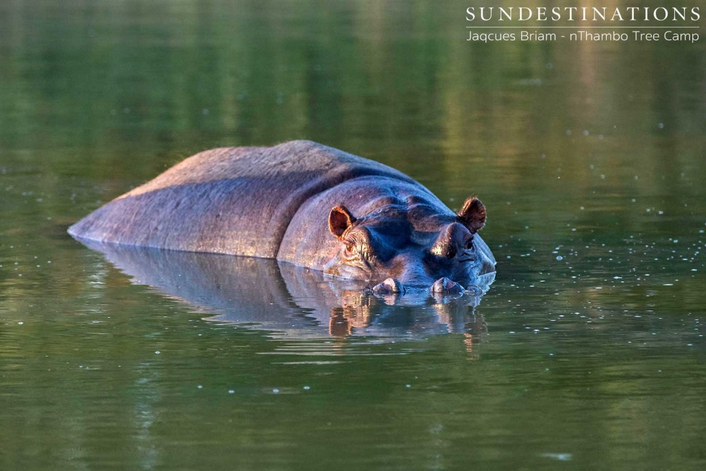 A hippo, half in half out.