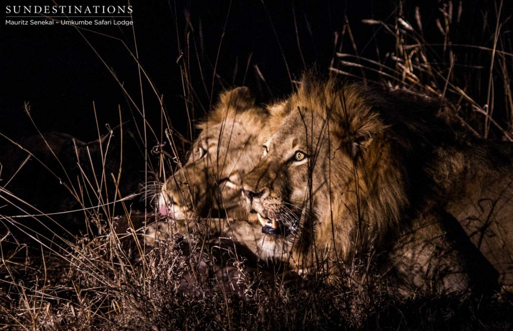 Unknown Kruger lions on baby buffalo kill