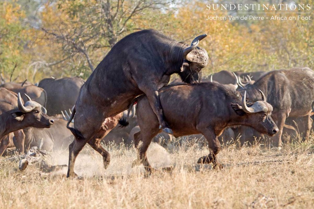 One bull mounting another