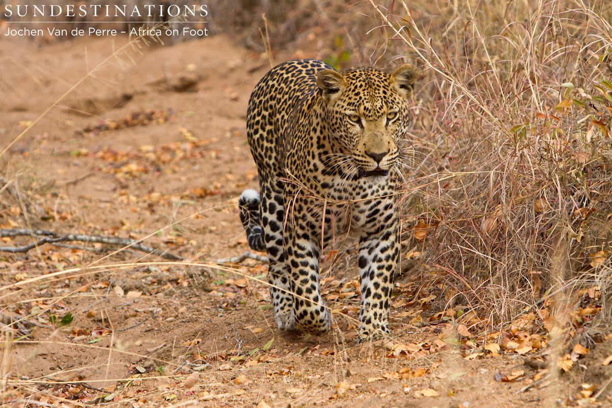 Male Leopard Spotted in Broad Daylight