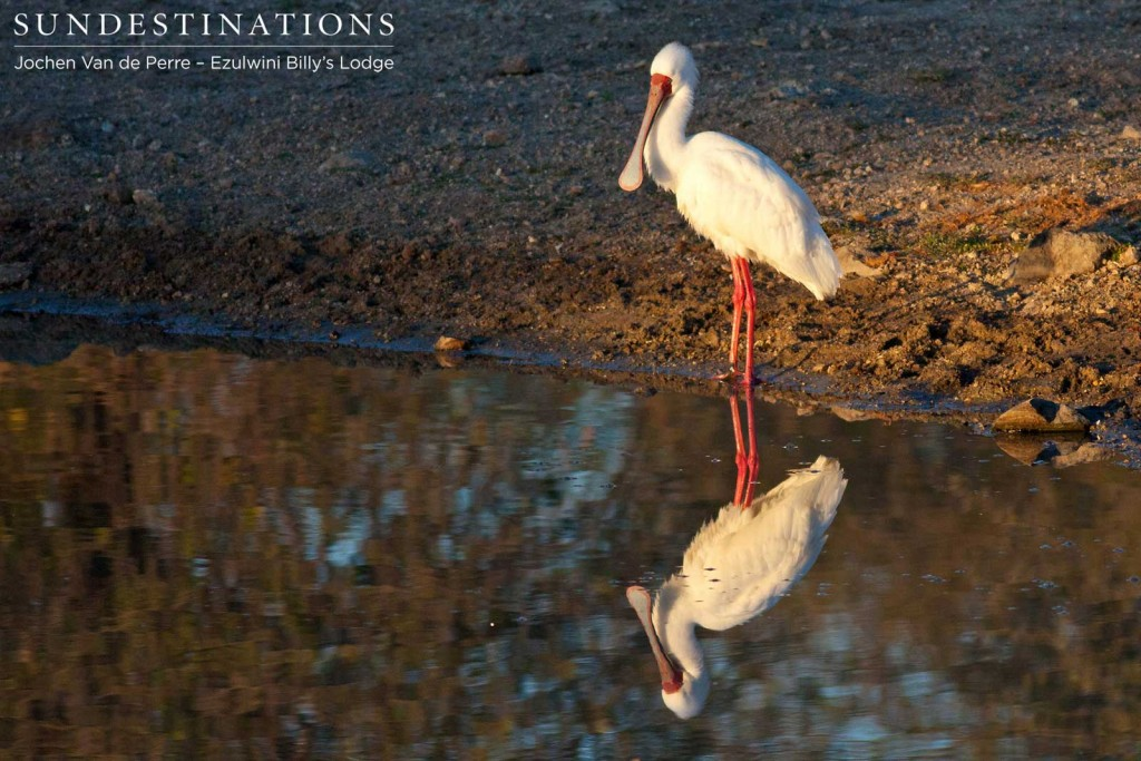 African spoonbill and reflection