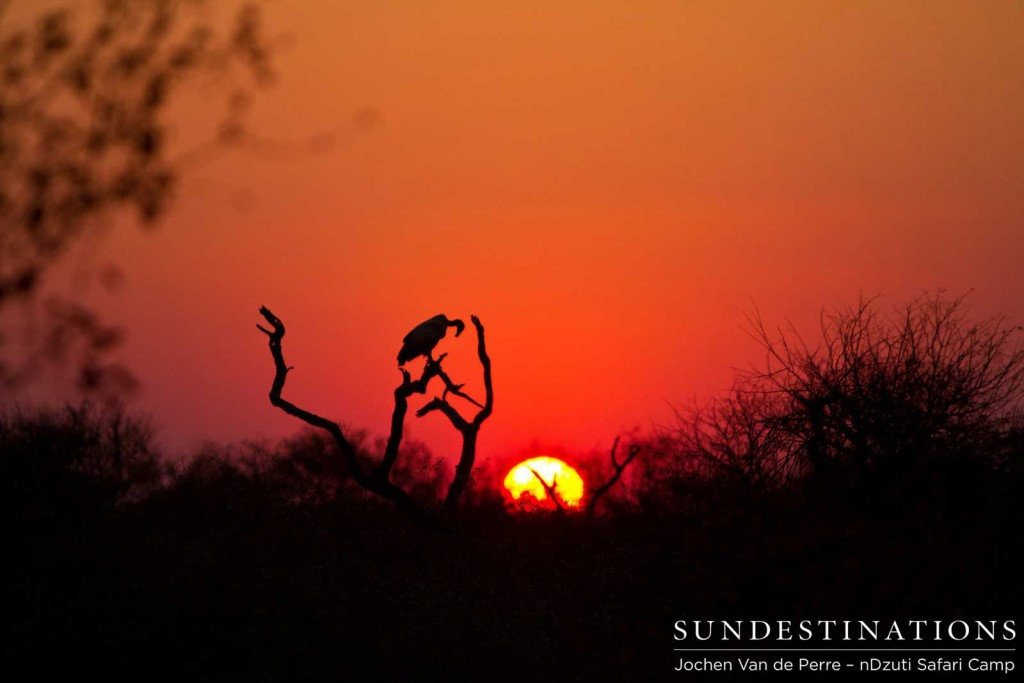 Vulture silhouette at sunset