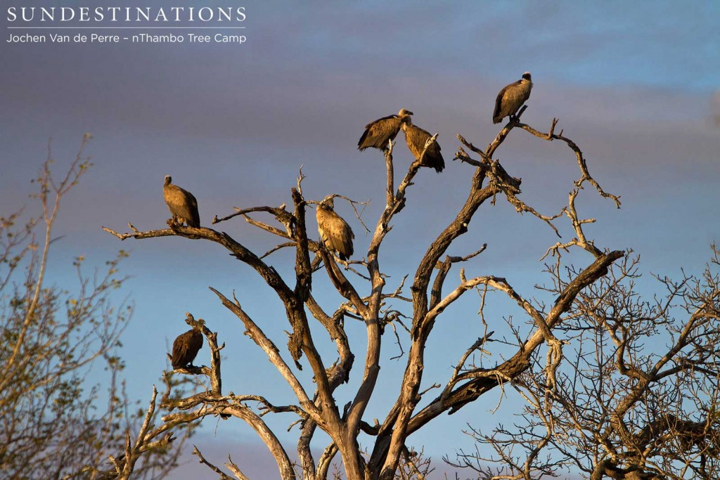 White-backed vultures lurking above a kill