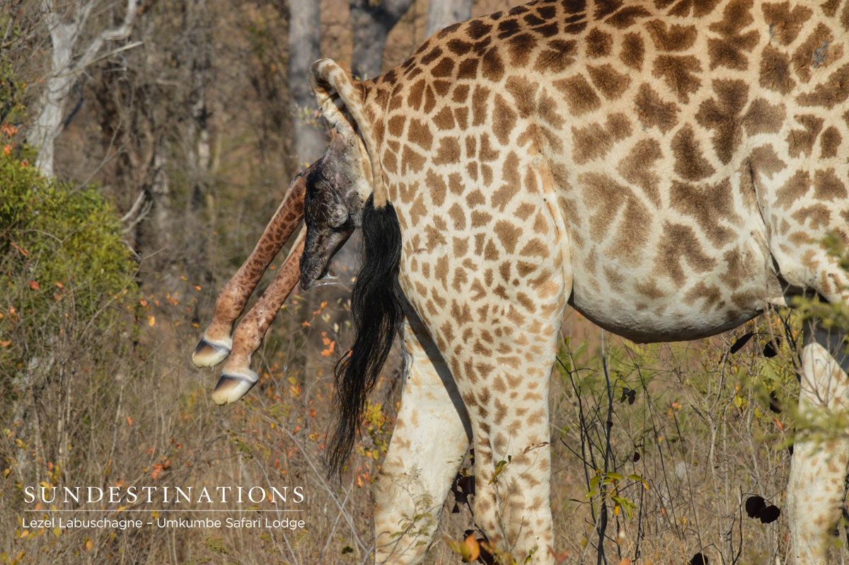Birth of a Giraffe | Umkumbe Safari Lodge