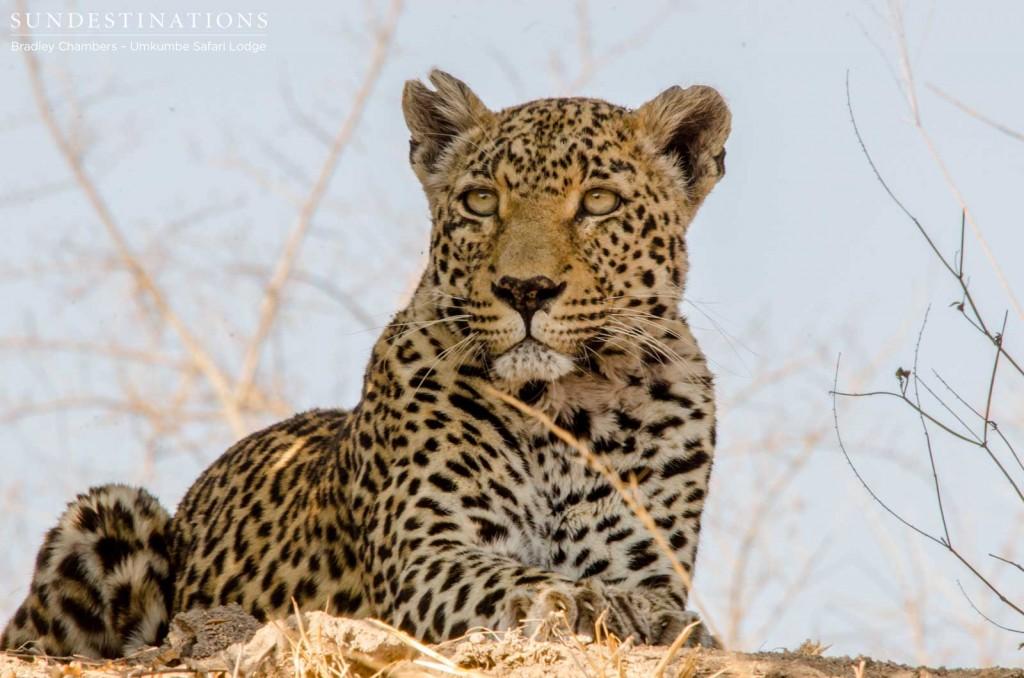 Notten's female leopard