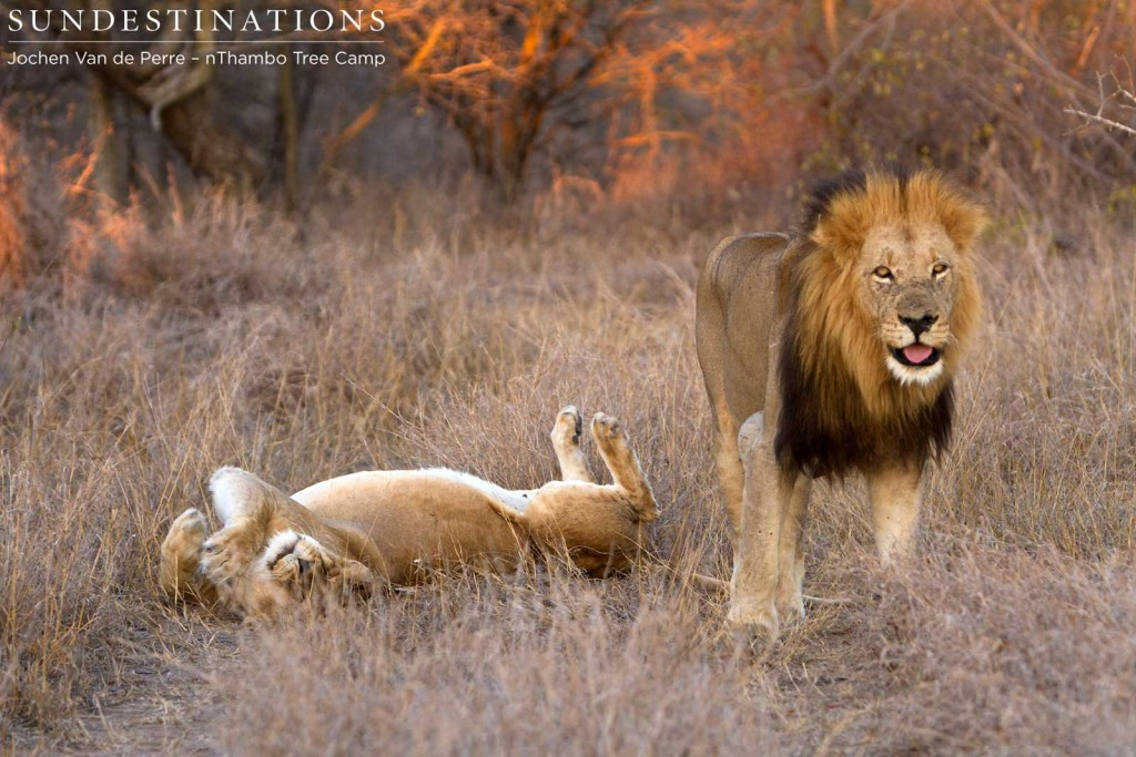 Trilogy rises after mating with Ross lioness