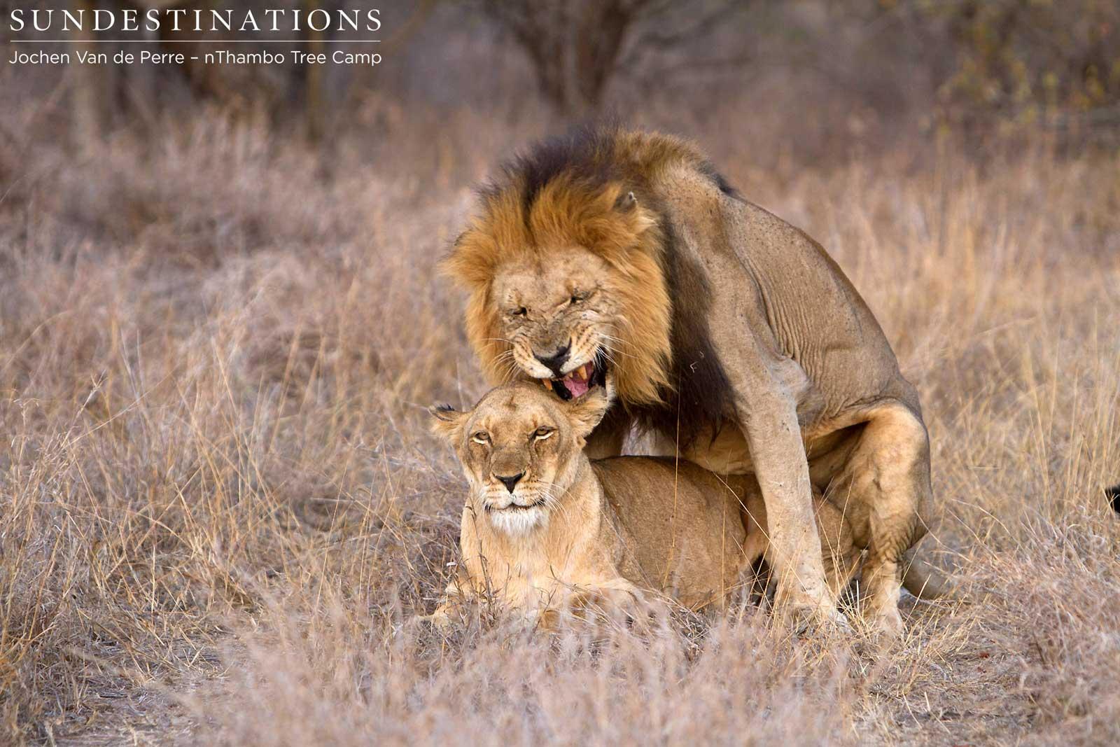 Klaserie lions mating